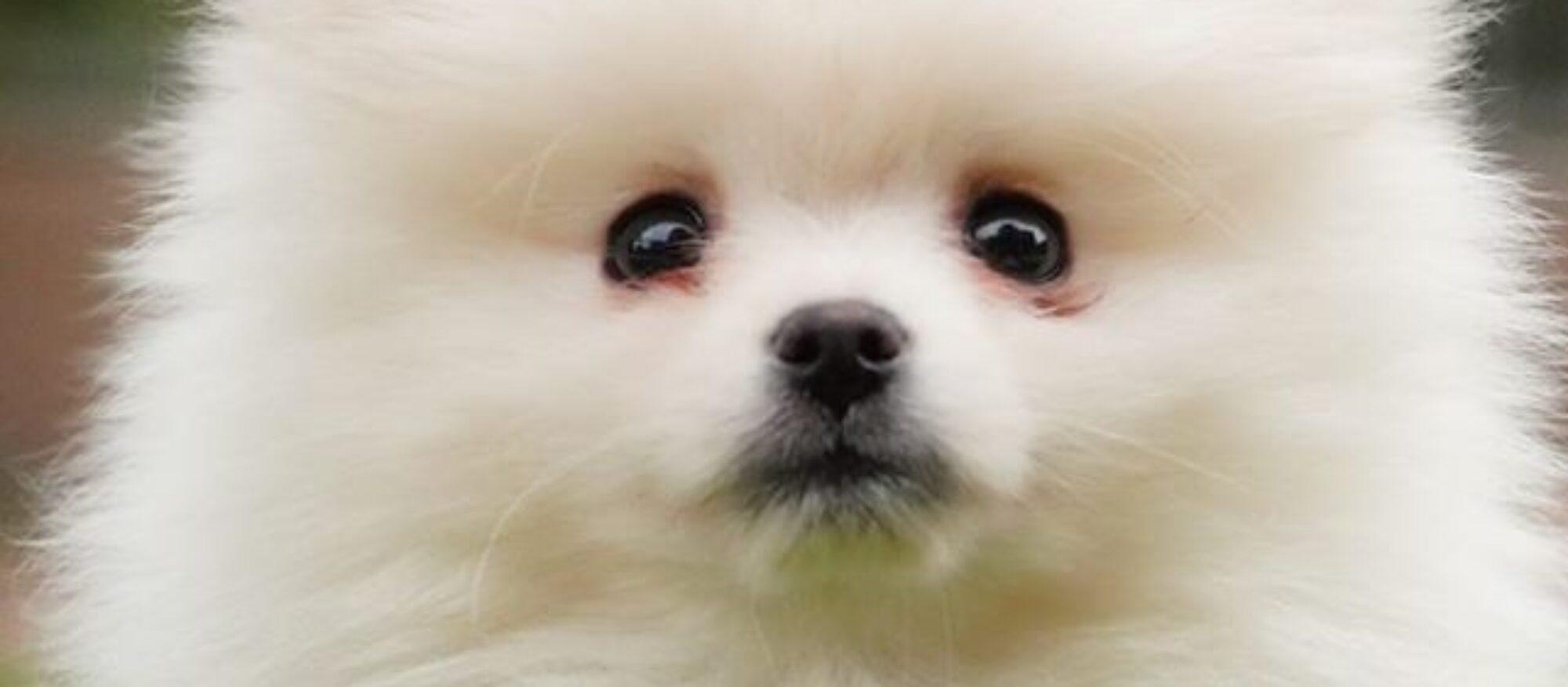 Lucky Star Pomeranians